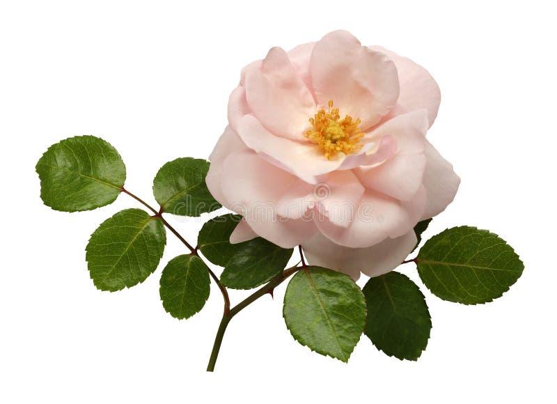 Rosa del color de rosa aislada en el fondo blanco imagenes de archivo