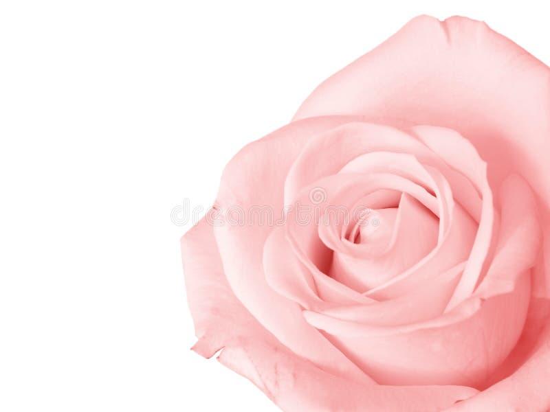 Rosa del color de rosa aislada fotos de archivo libres de regalías