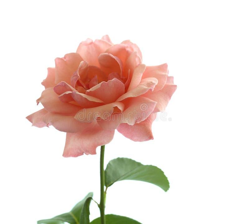Rosa del color de rosa aislada en blanco imagenes de archivo