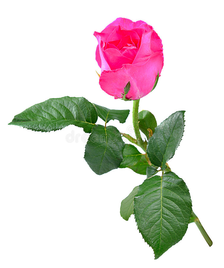 Rosa del color de rosa aislada en blanco foto de archivo