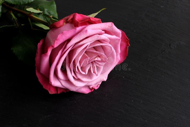 Rosa del rosa con las hojas en fondo de la pizarra imagen de archivo libre de regalías