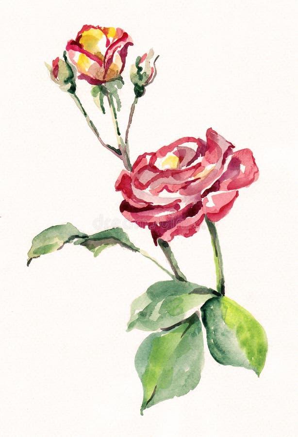 Rosa del rosa de la acuarela con un brote Flores pintadas a mano en un fondo blanco libre illustration