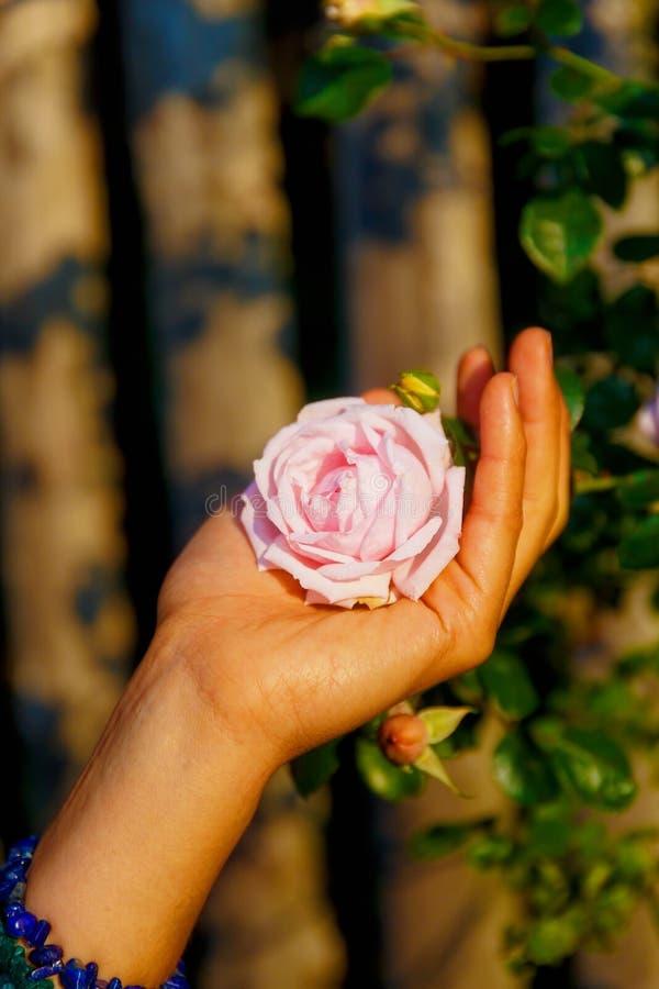 Rosa del rosa de Romantinc en la mano de la mujer, flor en paisaje hermoso foto de archivo