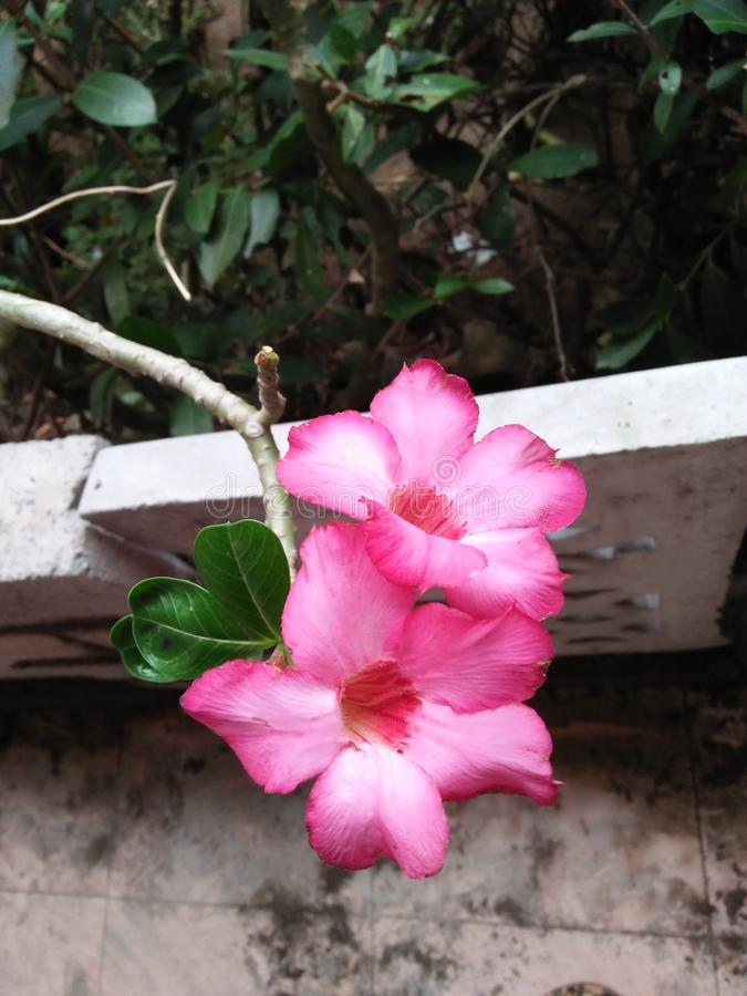 Rosa del deserto di Obesum del Adenium/orgoglio del Giappone fotografie stock
