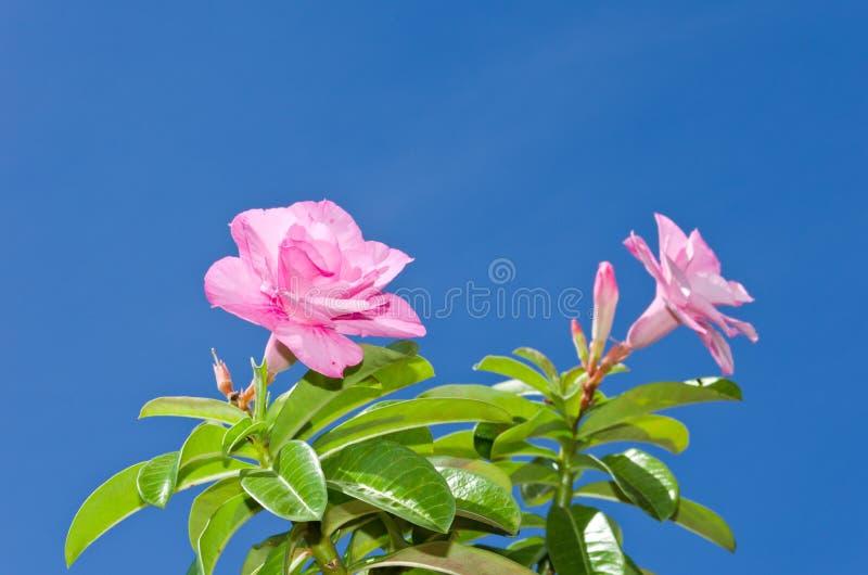 Rosa del deserto e cielo blu immagine stock