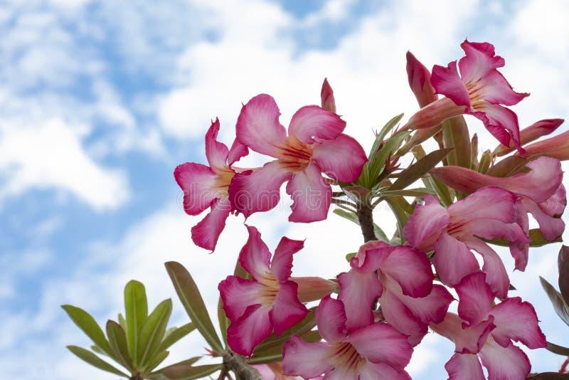 Rosa del deserto rosa fresca, fiori falsi del giglio dell'azalea, di pinkbignonia o di impala sul fondo del cielo fotografia stock