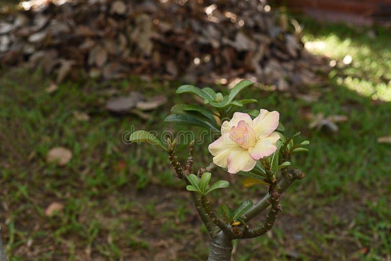 rosa del deserto gialla immagine stock libera da diritti