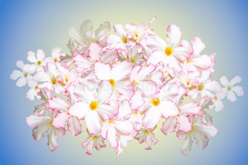 Rosa del deserto, giglio di impala, Azalea Flowers falsa fotografie stock