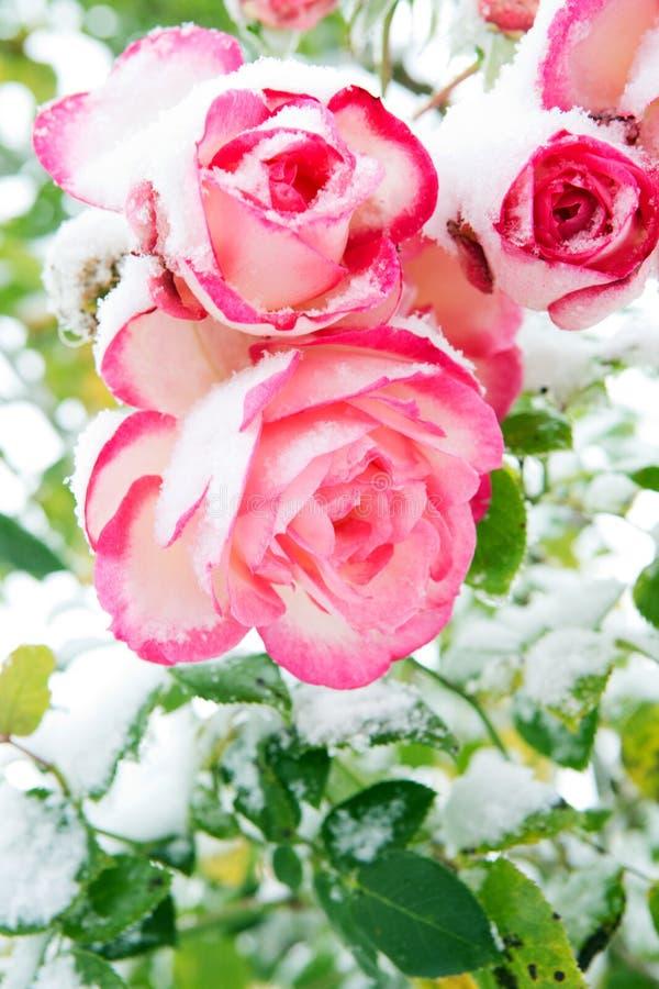 Rosa del rosa en la nieve El rosa subió en las nevadas fotografía de archivo