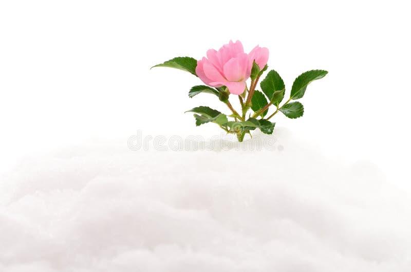 Rosa del rosa en nieve fotografía de archivo