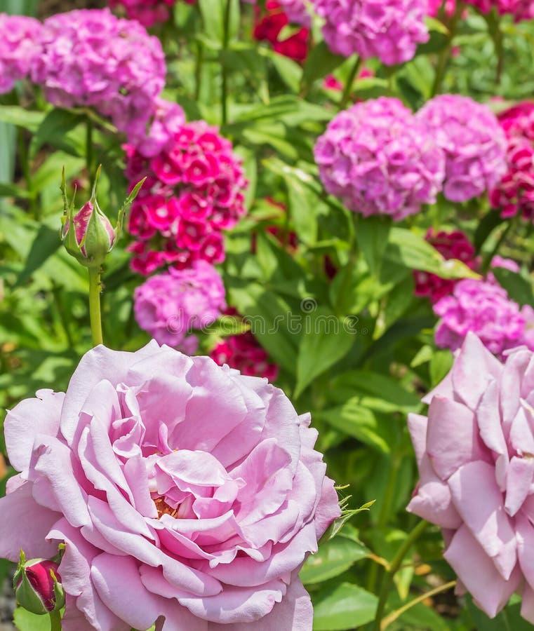 Rosa del rosa en un fondo de florecer a dulce-Guillermo, primer foto de archivo libre de regalías