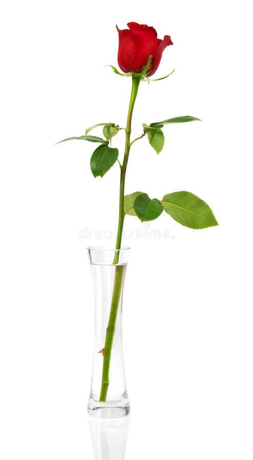Rosa del escarlata en un florero transparente foto de archivo libre de regalías