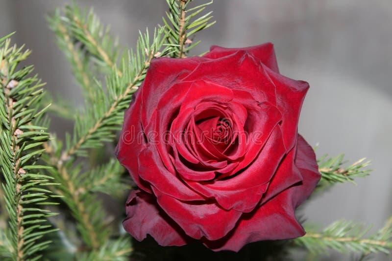 Rosa del escarlata y rama del abeto fotografía de archivo libre de regalías