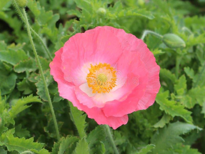Rosa del fiore immagine stock