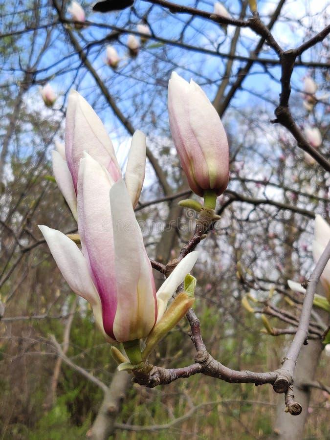 Rosa del fiore della magnolia immagini stock