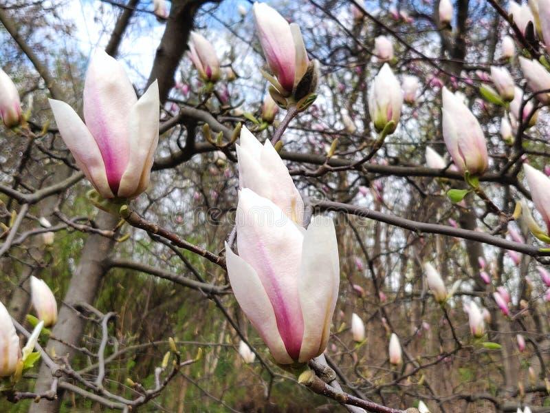 Rosa del fiore della magnolia fotografia stock libera da diritti