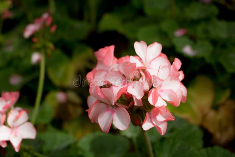 Rosa del flox del primo piano con sbocciare bianco delle strisce immagine stock libera da diritti