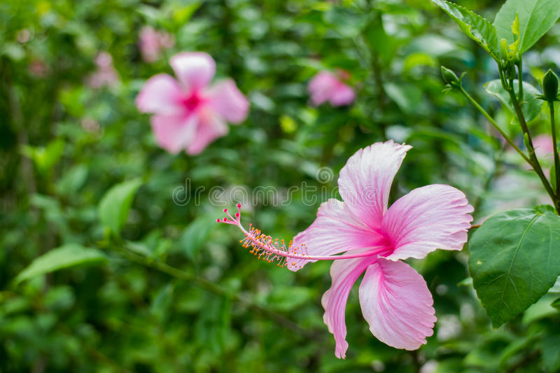 Rosa del hibisco fotos de archivo libres de regalías