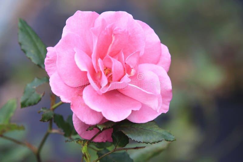Rosa del rosa que florece en el jardín fotos de archivo libres de regalías
