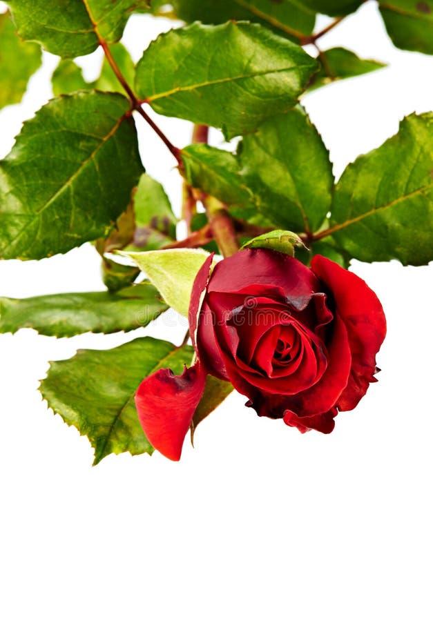 Rosa del rojo aislada en blanco imágenes de archivo libres de regalías