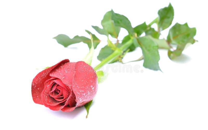 Rosa del rojo aislada en el fondo blanco imagen de archivo libre de regalías