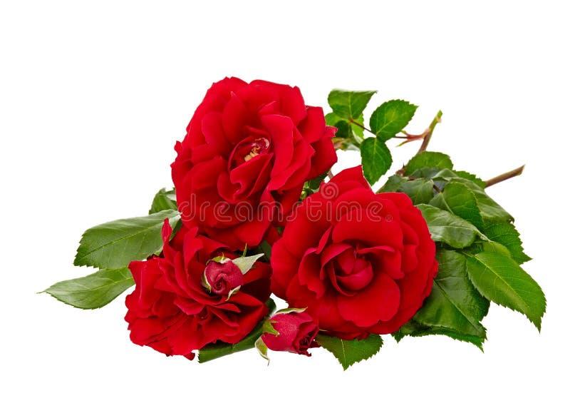 Rosa del rojo aislada en el fondo blanco fotografía de archivo libre de regalías