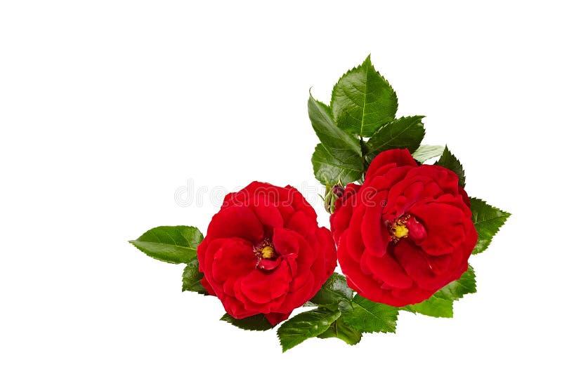 Rosa del rojo aislada en el fondo blanco aislado imagen de archivo libre de regalías