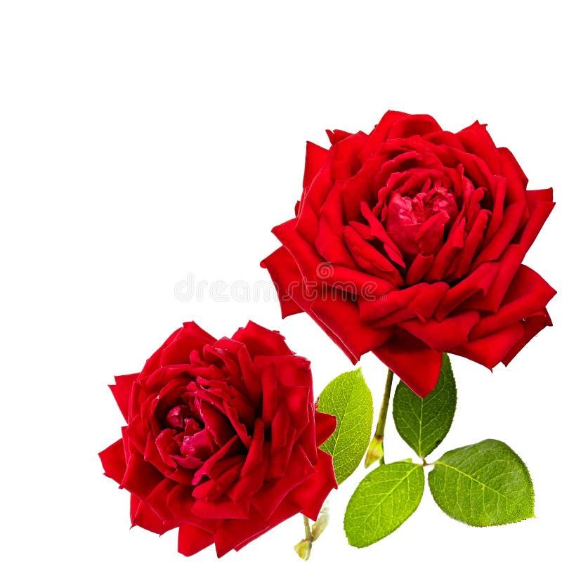 Rosa del rojo aislada en el fondo blanco aislado imagenes de archivo