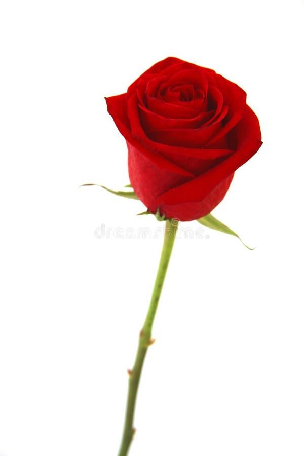 Rosa del rojo aislada sobre blanco imágenes de archivo libres de regalías