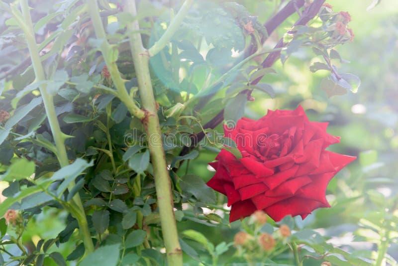 Rosa del rojo con cierre de la luz del sol para arriba foto de archivo libre de regalías