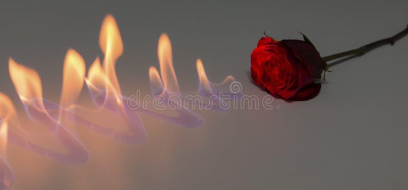 Rosa del rojo con el fuego en superficie brillante en estudio foto de archivo