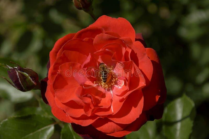 Rosa del rojo con la abeja imágenes de archivo libres de regalías