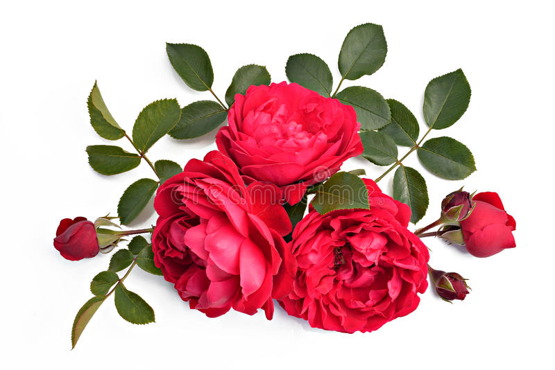 Rosa del rojo con los brotes y las hojas en un fondo del blanco (nombre latino: imágenes de archivo libres de regalías