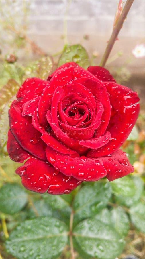 Rosa del rojo con rocío imagen de archivo libre de regalías