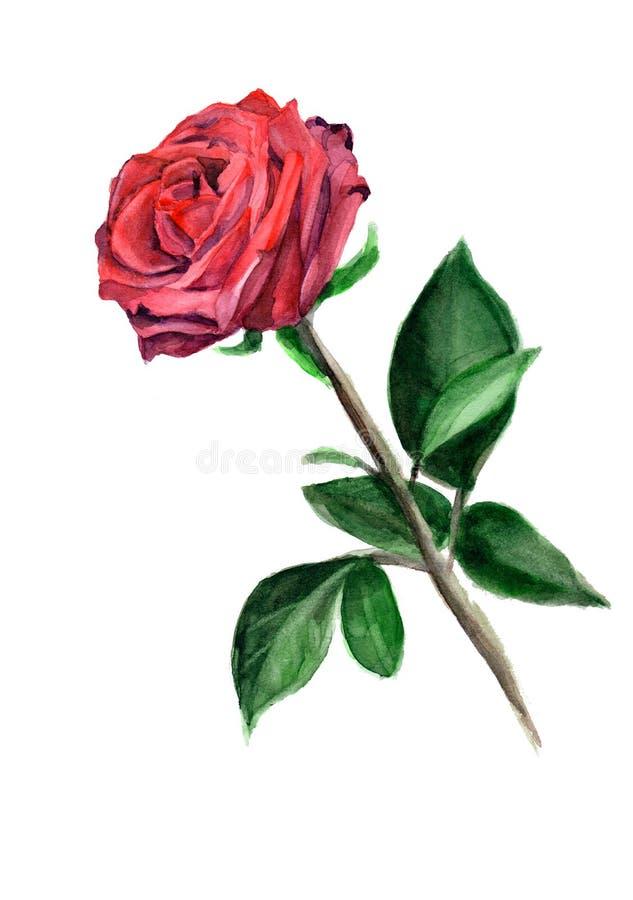Rosa del rojo de la acuarela stock de ilustración