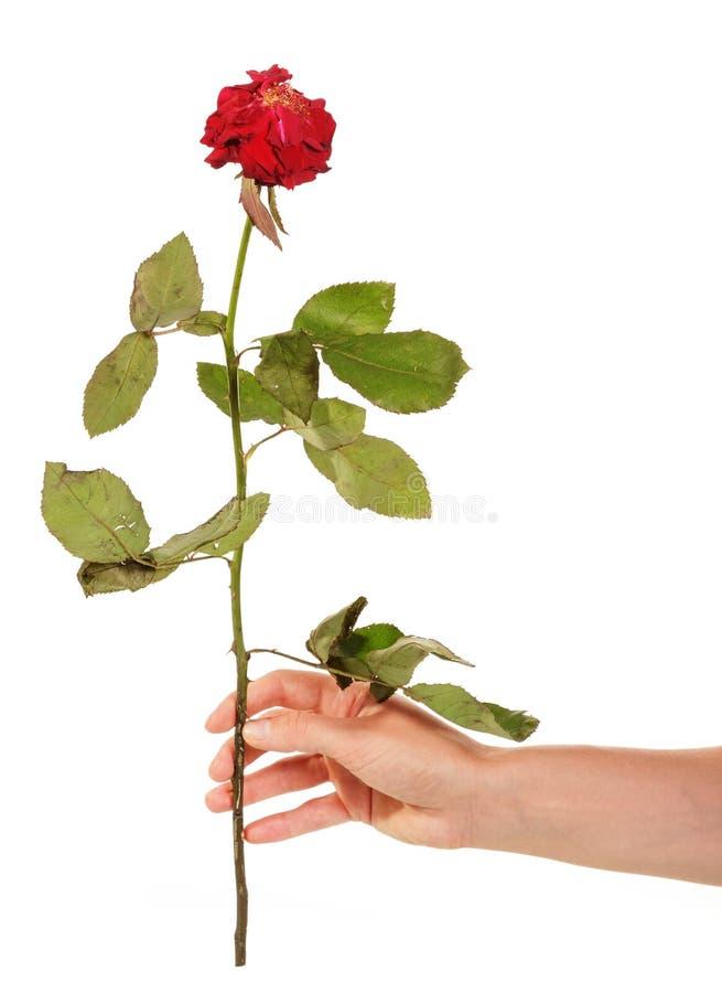 Rosa del rojo de Witherbarks en la mano femenina aislada en el fondo blanco imagenes de archivo