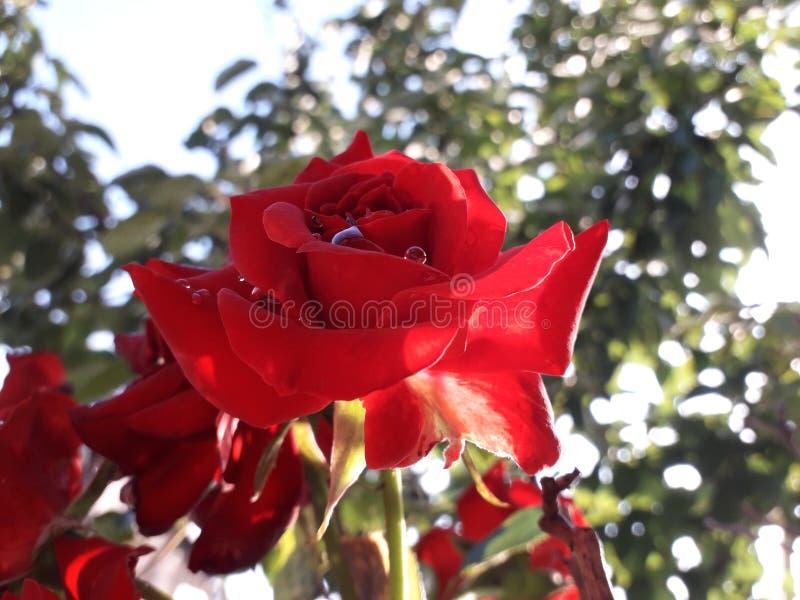 Rosa del rojo después de la lluvia imágenes de archivo libres de regalías
