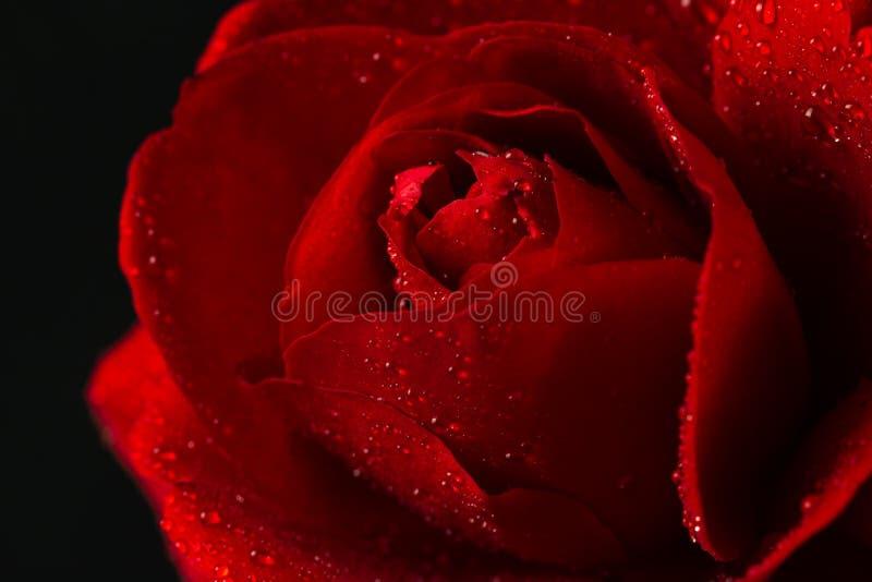 Rosa del rojo en cierre encima de la visión fotos de archivo libres de regalías