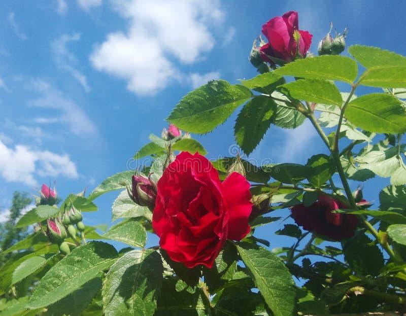 Rosa del rojo en el cielo imagen de archivo