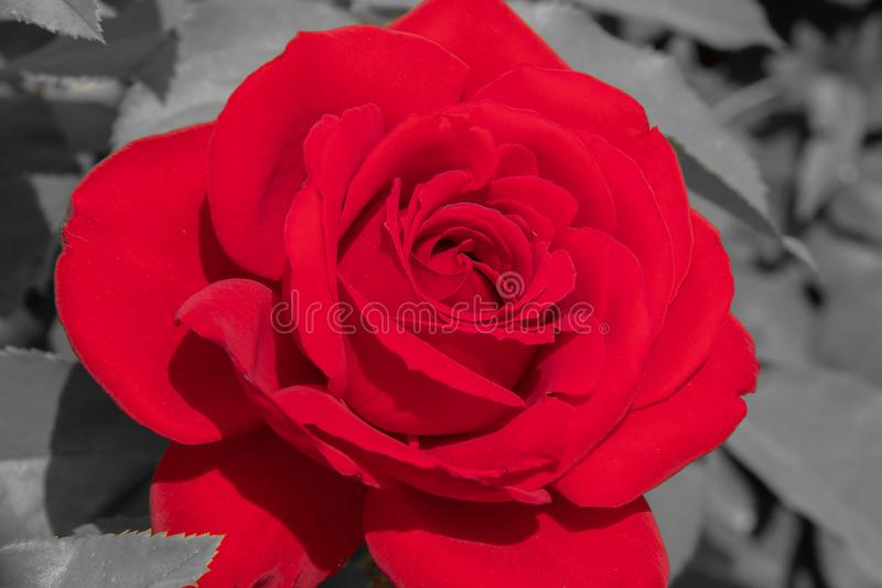 Rosa del rojo en el fondo blanco y negro foto de archivo