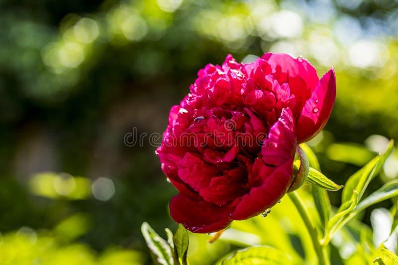 Rosa del rojo en el sol foto de archivo libre de regalías