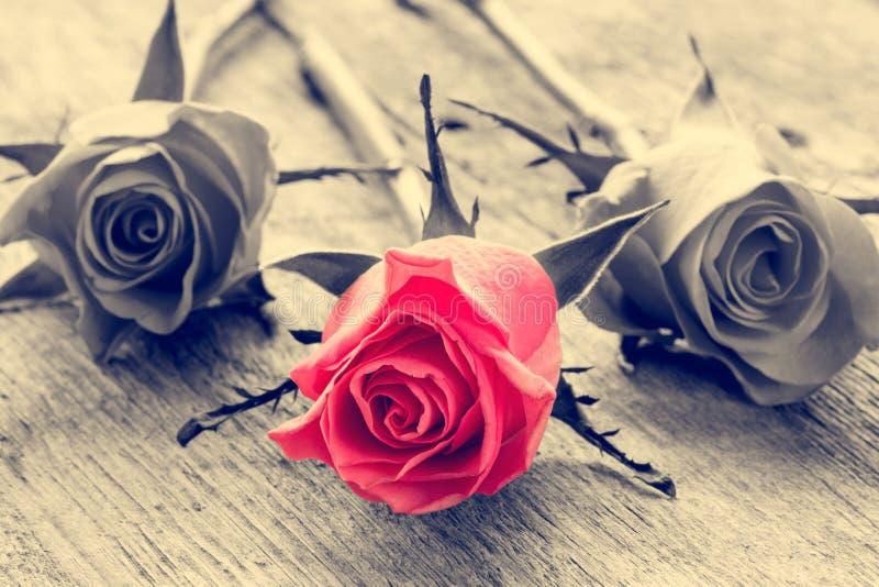 Rosa del rojo en fondo blanco y negro imágenes de archivo libres de regalías