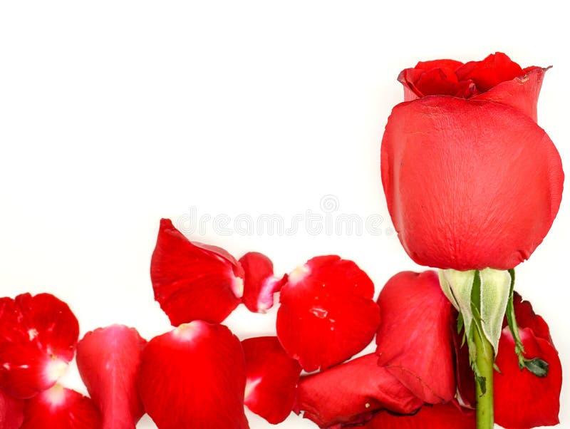 Rosa del rojo en fondo de los pétalos color de rosa fotos de archivo