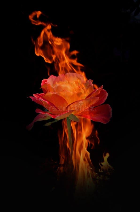 Rosa del rojo en la llama del fuego caliente foto de archivo