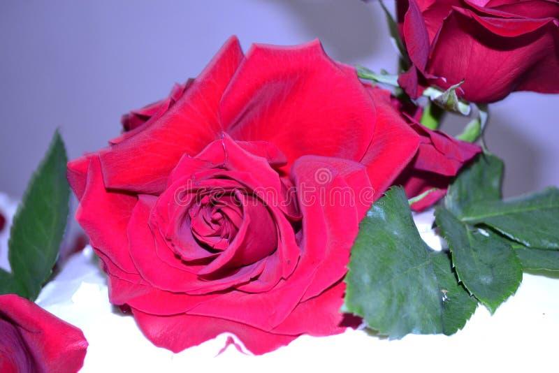 Rosa del rojo en la torta imágenes de archivo libres de regalías