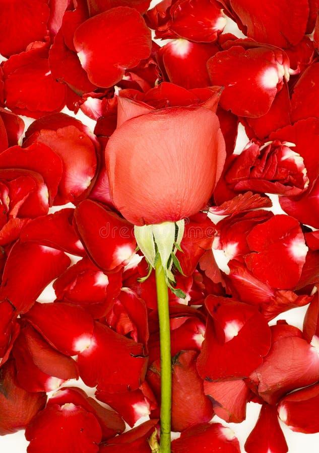 Rosa del rojo en los pétalos color de rosa fotografía de archivo libre de regalías