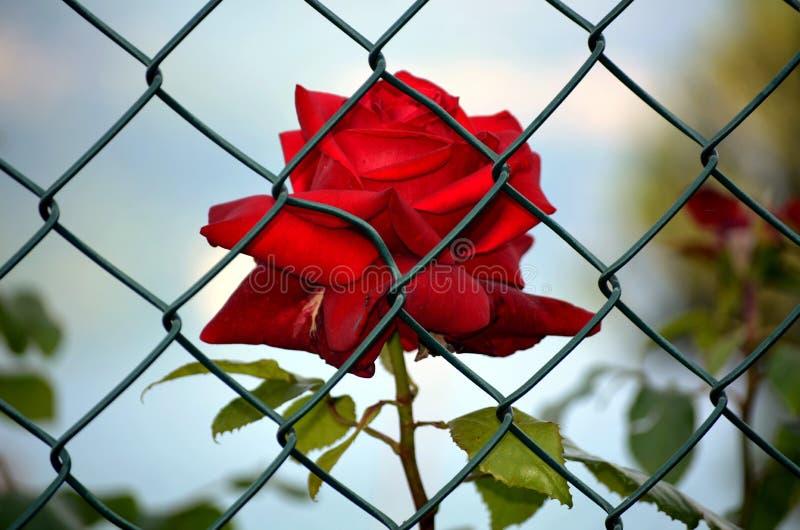 Rosa del rojo encarcelada fotos de archivo