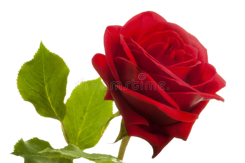 Rosa del rojo, foco suave imagen de archivo