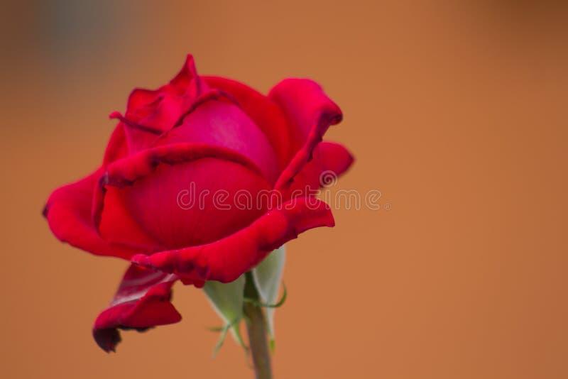 Rosa del rojo que acaba imagen de archivo