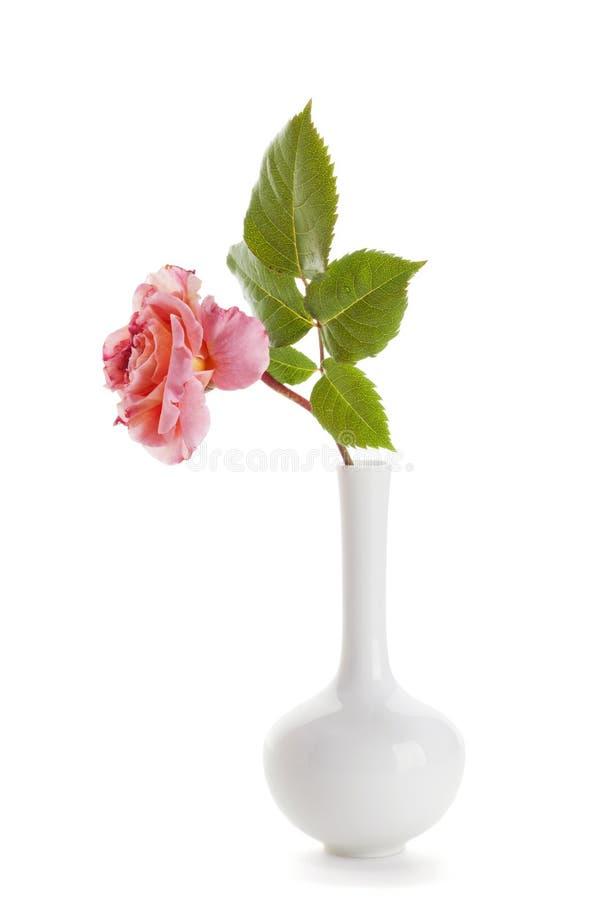 Rosa del rosa en el florero blanco aislado fotografía de archivo